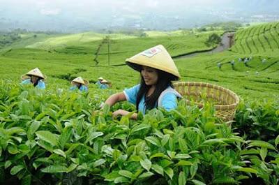 teh gunung dempo