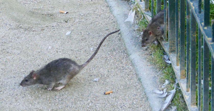 France : Avec les écolos, les rats sont choyés...!