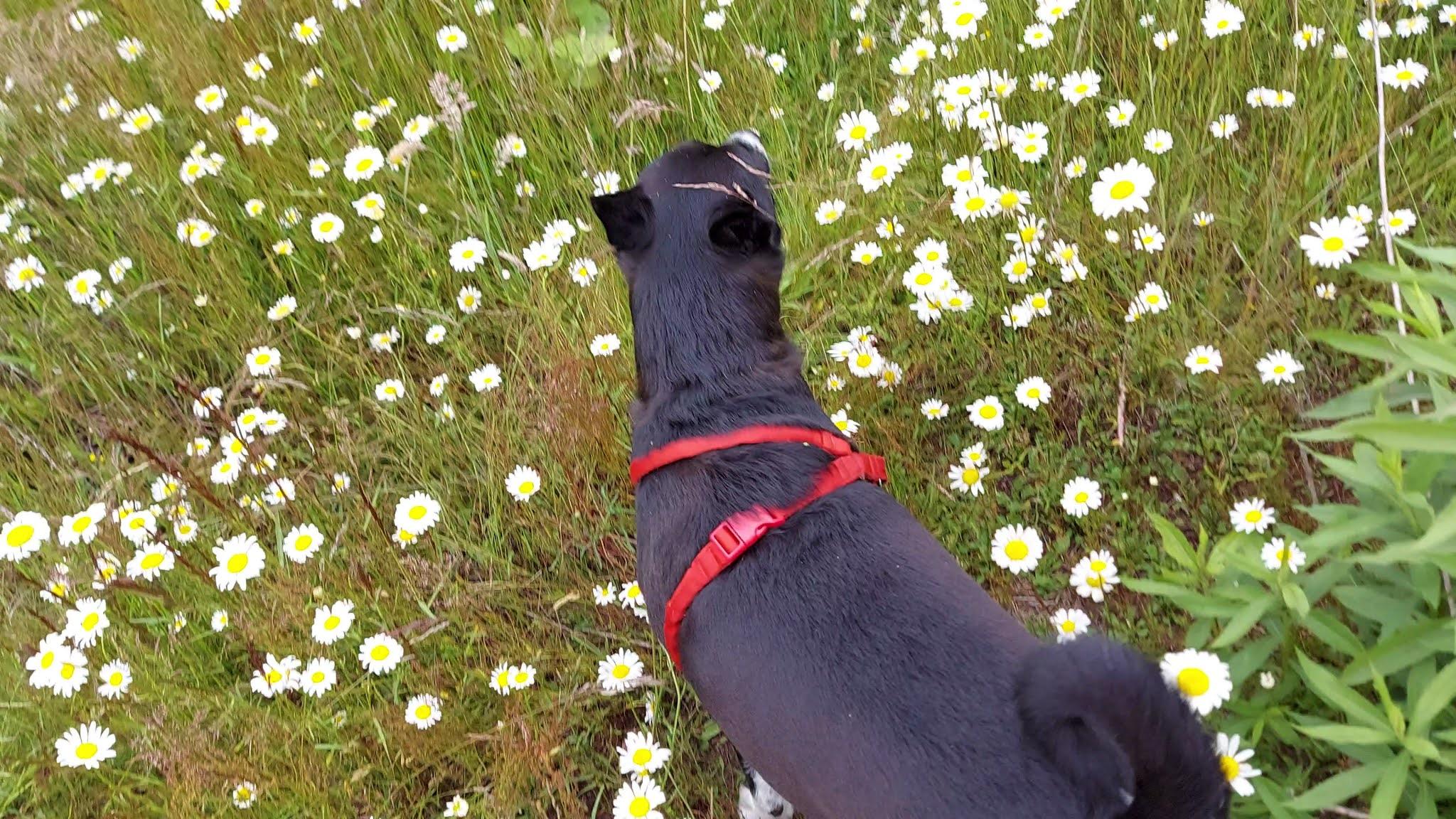 Dog in the field Daisy