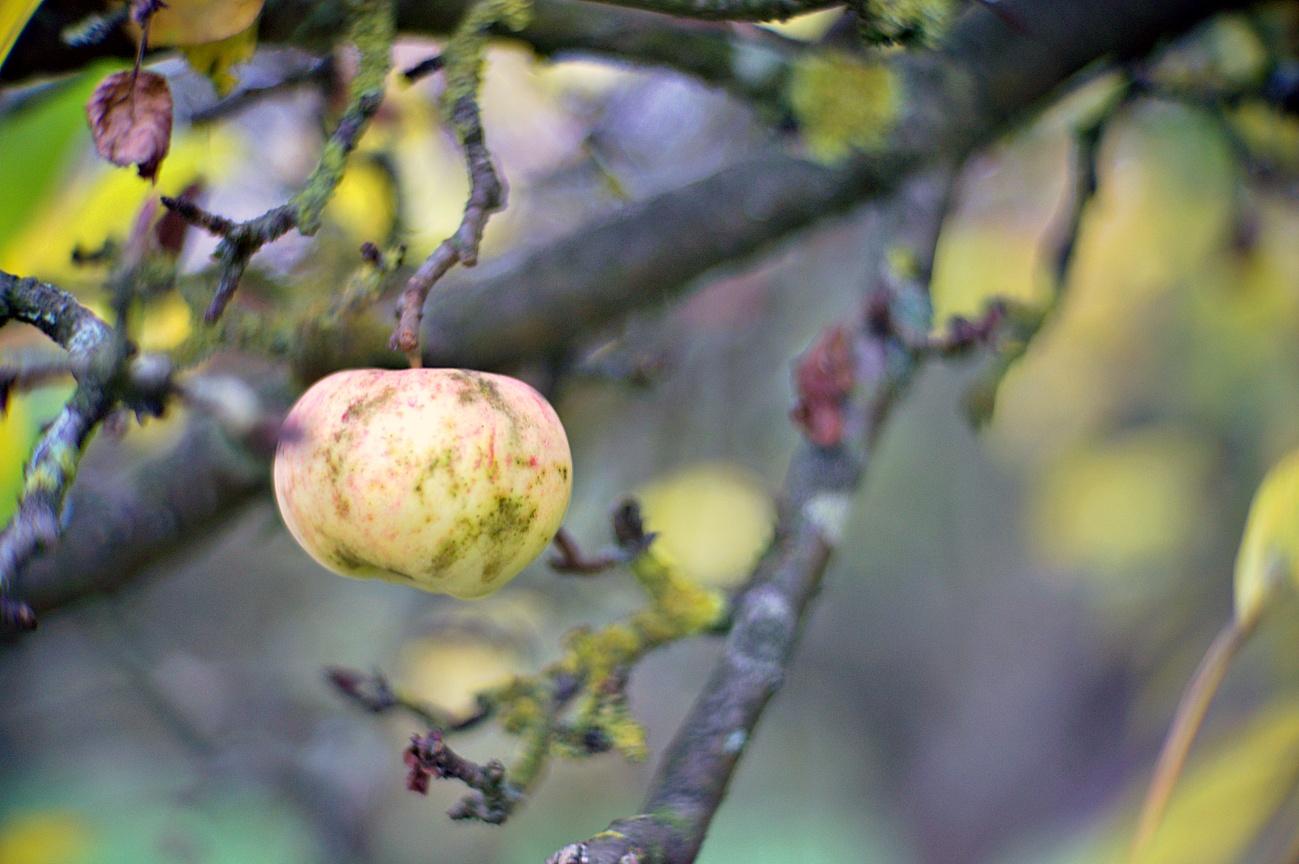 Bild der Woche #45 (KW45/2020) – Der letzte Apfel auf dem Baum
