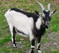15 jenis kambing yang cocok untuk dipelihara