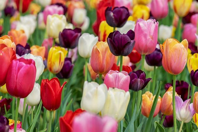 hoa tulip hồng, tím đẹp nhất 3