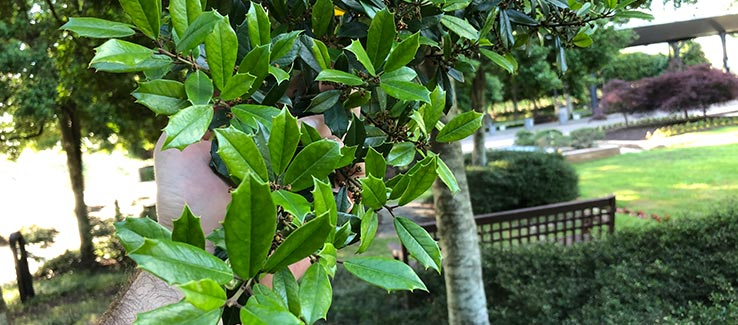 Tree care examination of foliage for signs of disease and infestation