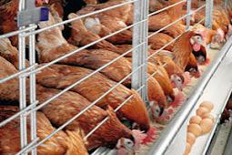 Cara Ternak Ayam Petelur Yang Baik Dan Mudah