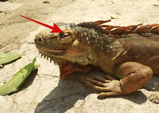 mengetahui ciri-ciri iguana sakit sebelum membeli iguana