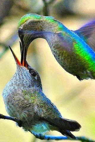 Hummingbirds playing together and having fun