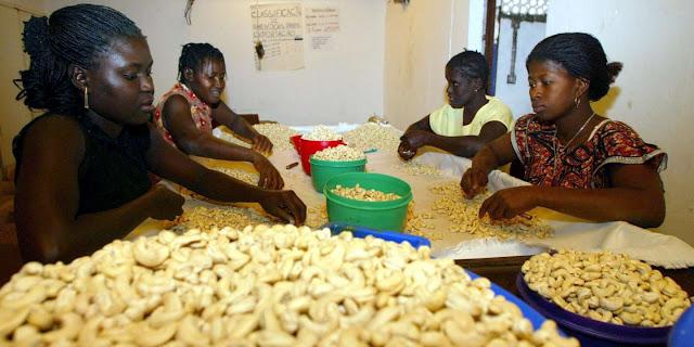 agriculture, production, noix, cajou, Darkassé, arbre, anacardier, Casamance, économie,exportation, marché, fruit, coquille, huile, boisson, jus, LEUKSENEGAL, Dakar, Sénégal, Afrique