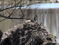 Canada goose nesting on beaver lodge Crawford Cy, PA, by Frederic J. Brenner