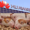 Huawei turning to pig farming as smartphone trade falls