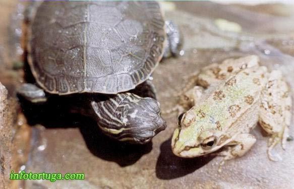 Chrysemys picta bellii con una rana