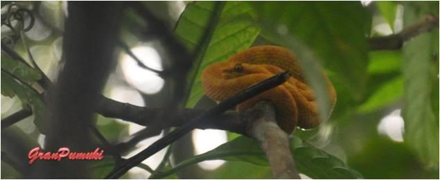 La venenosa serpiente amarillo o serpiente oropel se puede encontrar en el P.N. de cahuita.Blog de Viajes con niños en Costa Rica
