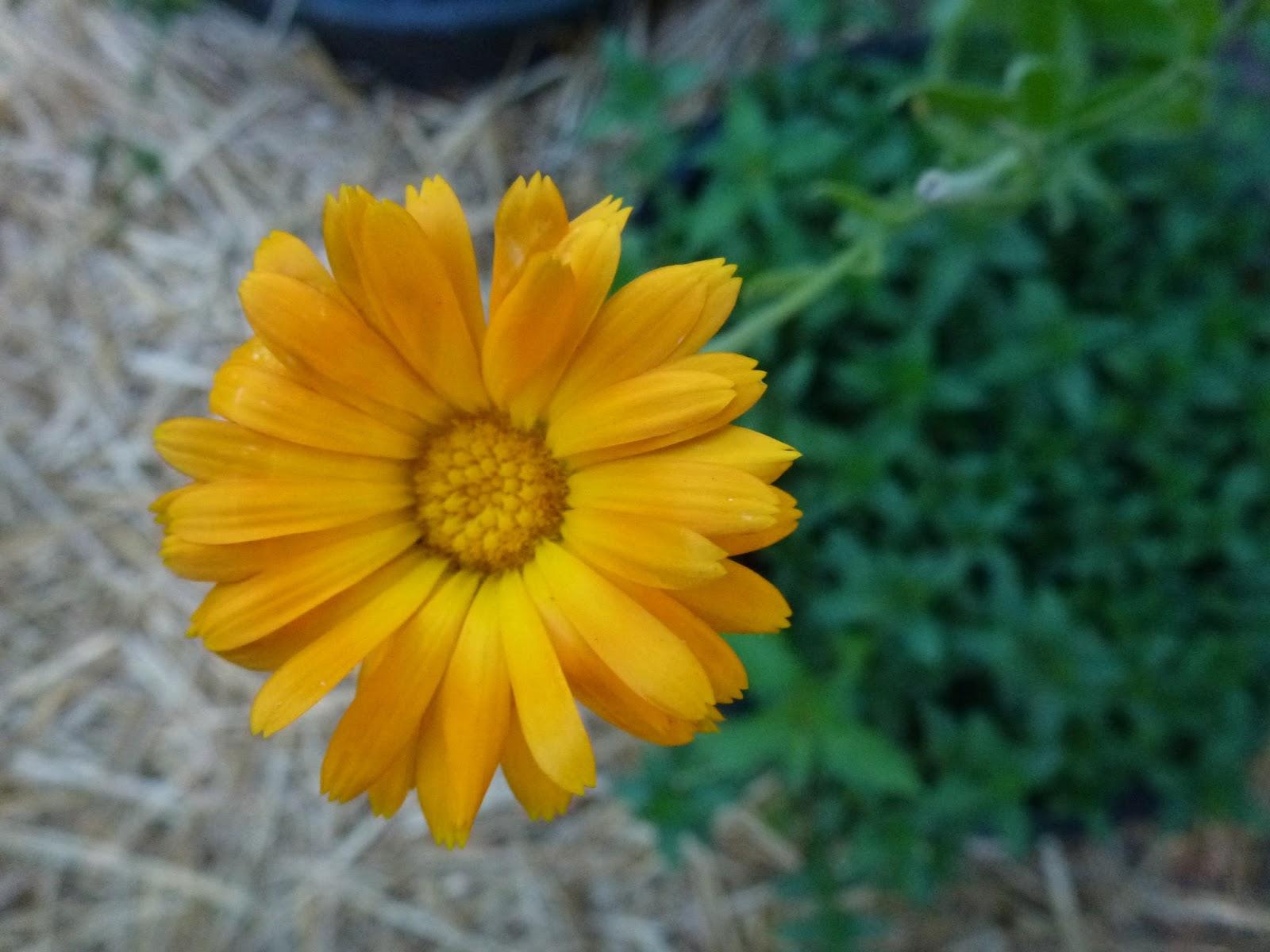 Little City Farm August Garden Flowers The Yellow Orange Edition