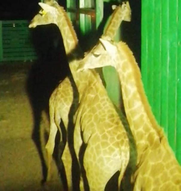 وفاة ذكر الزراف زيزو القادم من جنوب أفريقيا بحديقة حيوان الجيزة