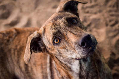A brown, brindle dog looks directly into the camera