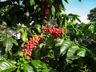 Coffee fruits Eje Cafetero Colombia