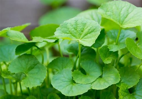 Đặc điểm tự nhiên và công dụng rau má với bệnh ho khan ho có đờm