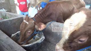 penggemukan sapi tradisional
