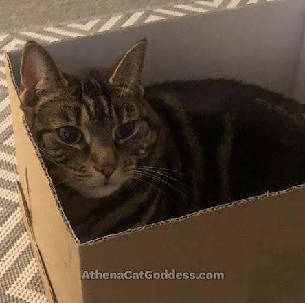 tabby cat sitting in a box