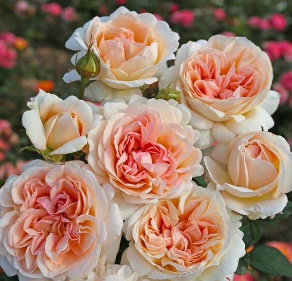 Grossherzogin Luise роза фото