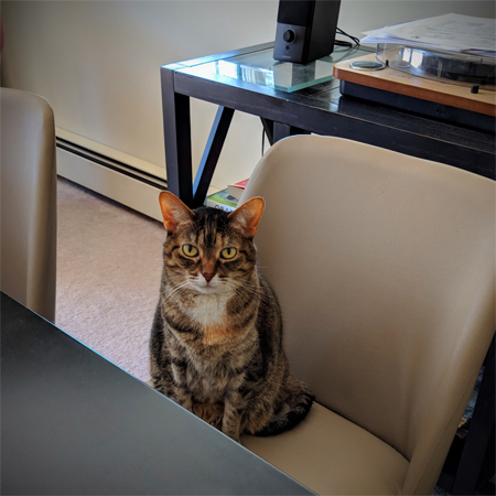 image of Sophie the Torbie Cat sitting at the dining room table in a chair, looking at me