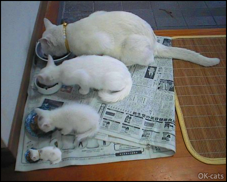 Photoshopped Cat picture • Funny white cat family eating all together, side by side: 4 cats in all sizes