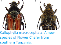 https://sciencythoughts.blogspot.com/2019/02/callophylla-macrocephala-new-species-of.html