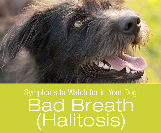 Symptoms To Watch For In Your Dog: Bad Breath (Halitosis)