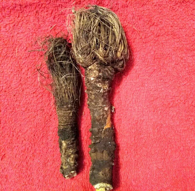 talisman za sreću biljka raskovnik