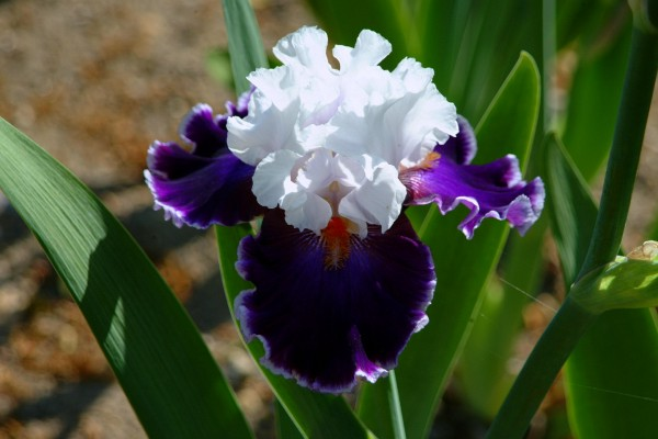 Growing and caring for Iris plants