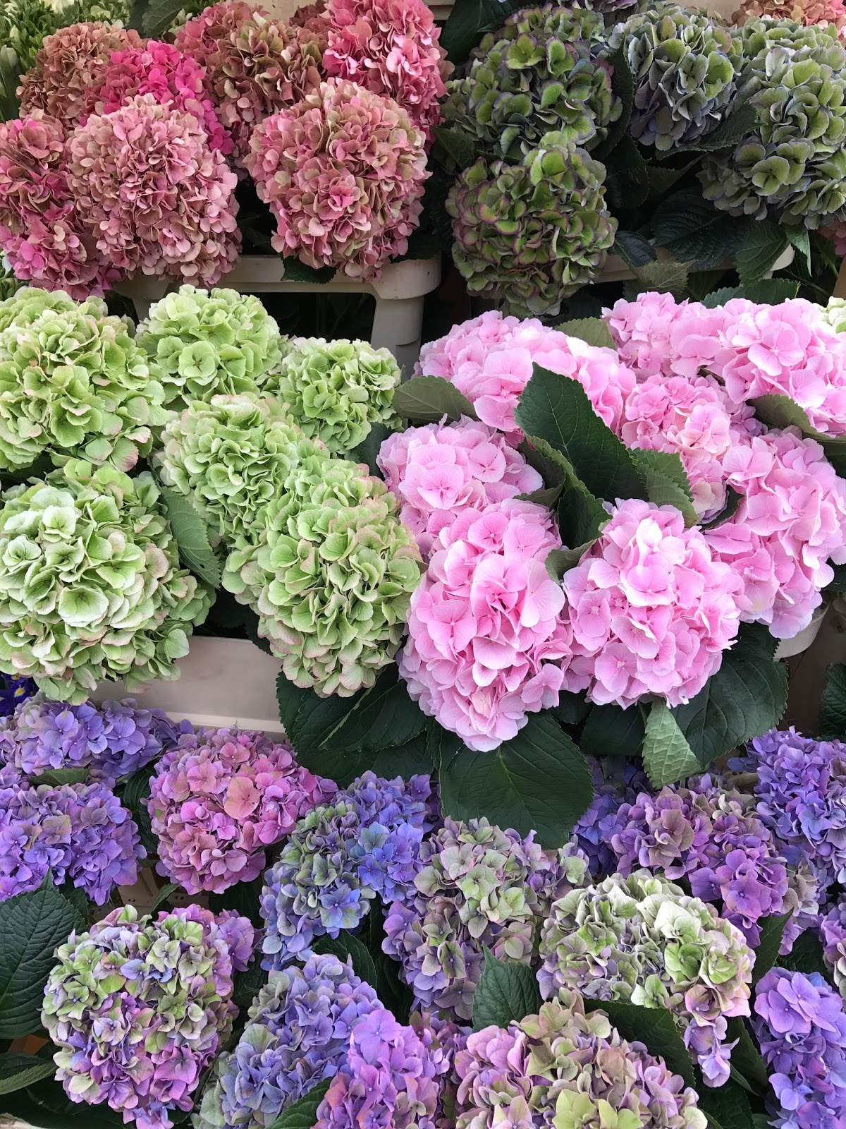 Hydrangeas At Columbia Road Flower Market And The First Visit To
