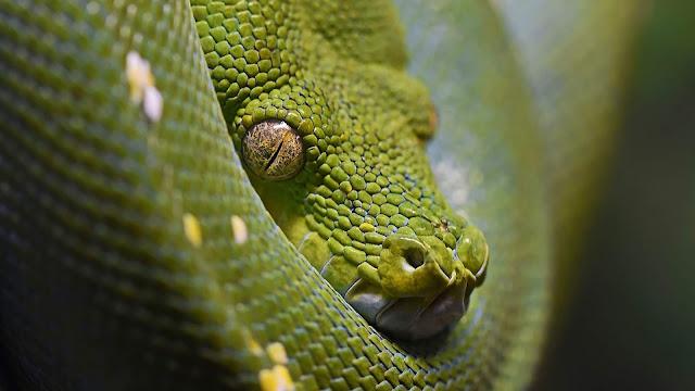 Papel de Parede Pitão Verde Arborícola