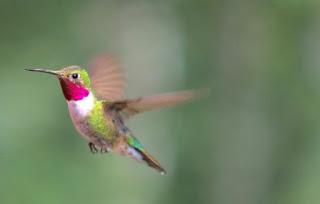 Perilaku  burung kolibri , Hummingbirds
