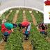 تشغيل 82 عامل و عاملة فلاحية بدولة إسبانيا