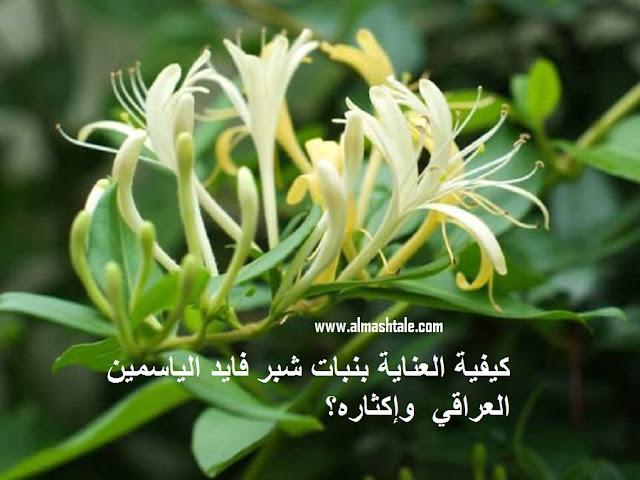 نبات شبر فايد الياسمين العراقي Lonicera japonica