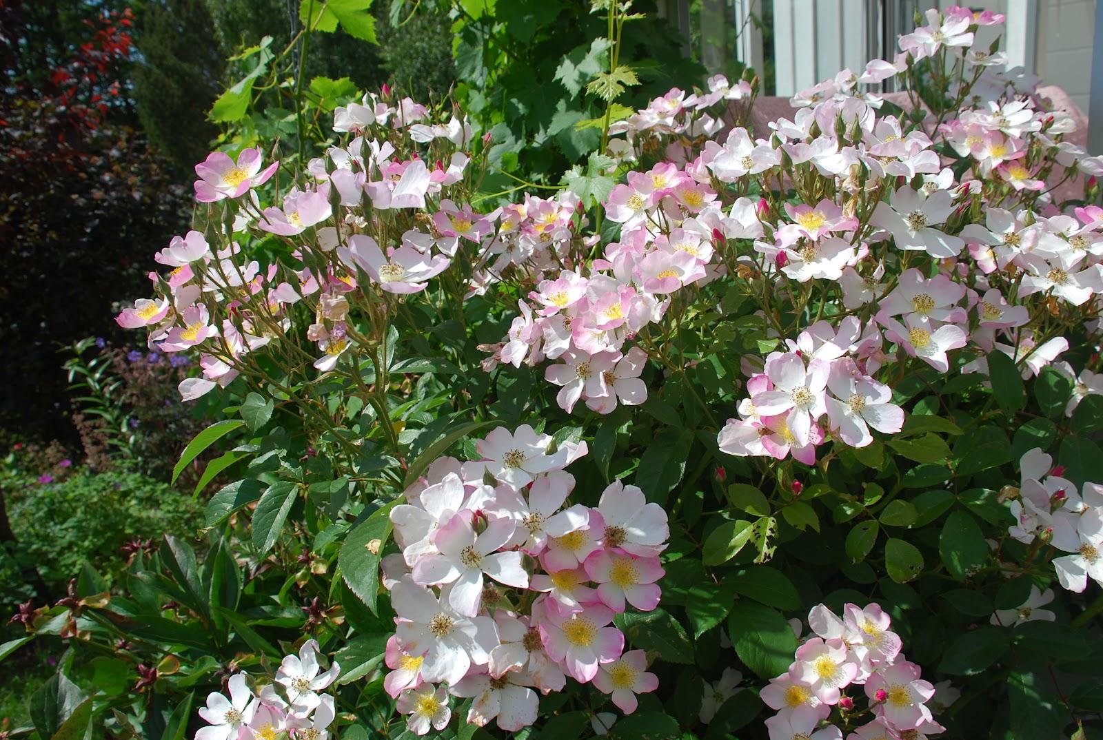 Rosé: I Never Promised You A Rose Garden