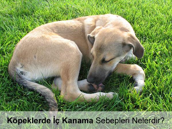Köpeklerde İç Kanama Sebepleri Nelerdir?
