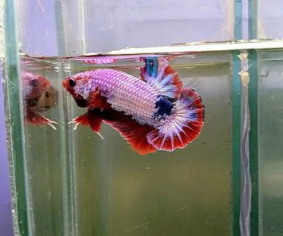 Pesona Ikan Cupang Fancy