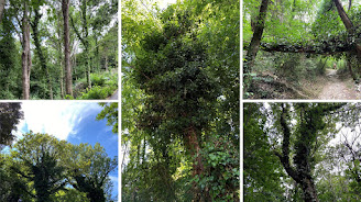 Examples of ivy invading trees in summer, near Bergamo.