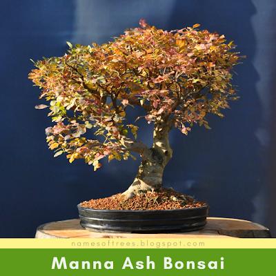 Manna Ash Bonsai