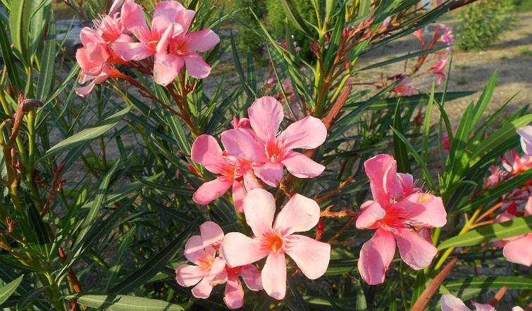 rosa Oleander - Pflanzen des Südens