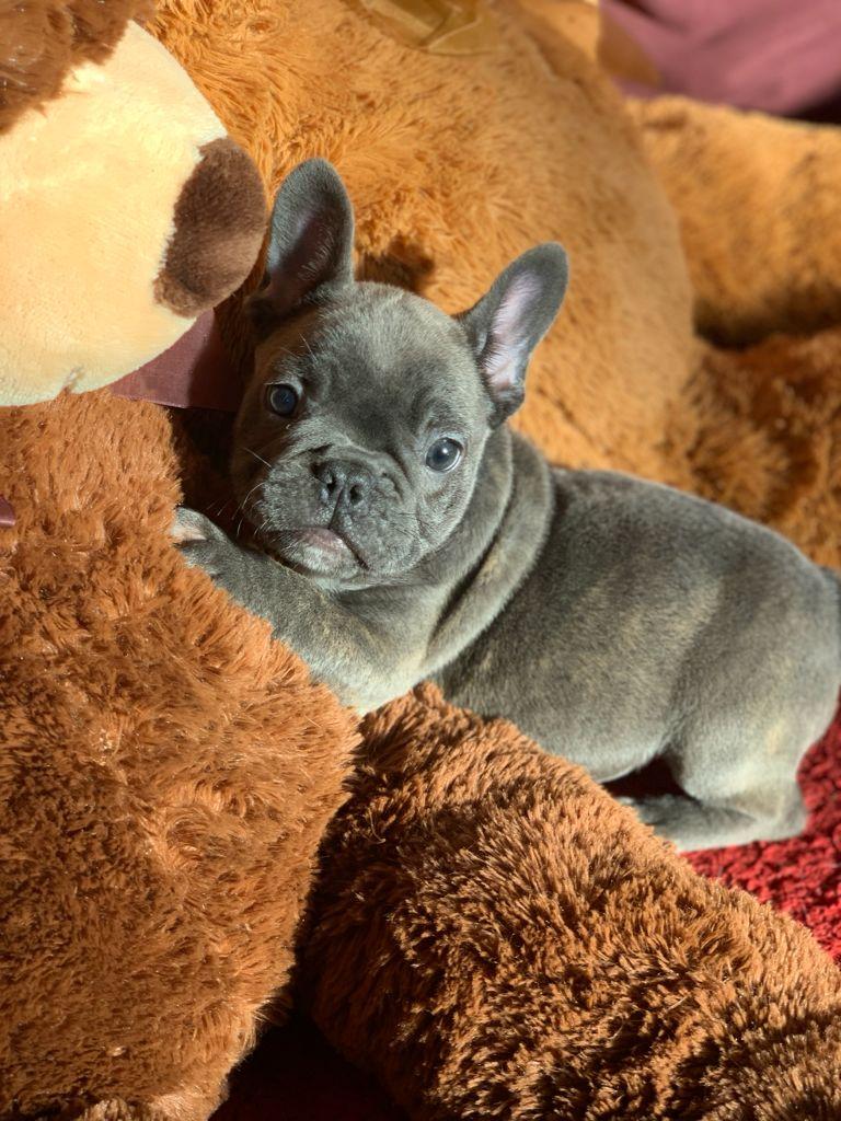 ¿Así que quiere un cachorro bulldog francés?