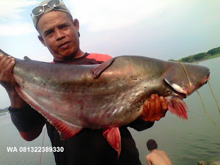 Umpan Pelet Serbuk Ikan Patin Harian