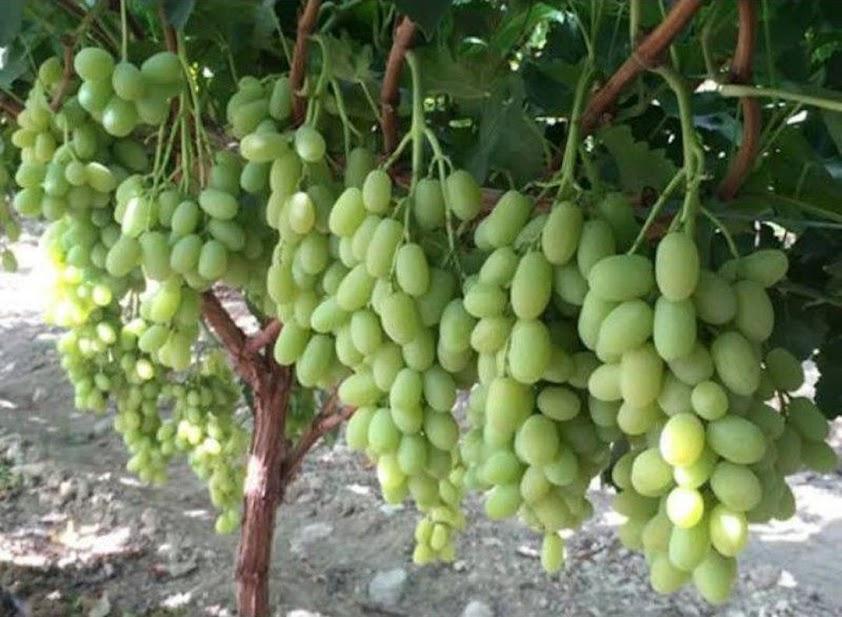 bibit buah anggur Ara 15 asli valid Jakarta