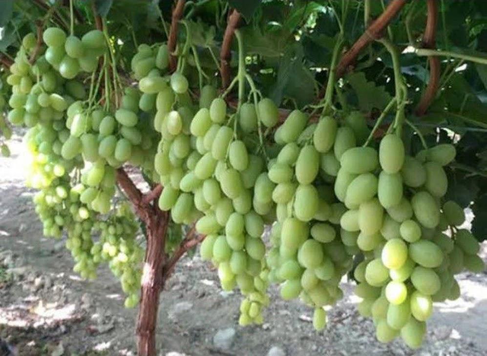 bibit buah anggur Ara 15 asli valid Kalimantan Barat