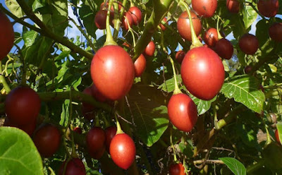 tree tomato farming in kenya