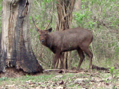 Sambar deer, Rusa unicolor, Nagarhole National Park, Karnataka wildlife, Indian wildlife
