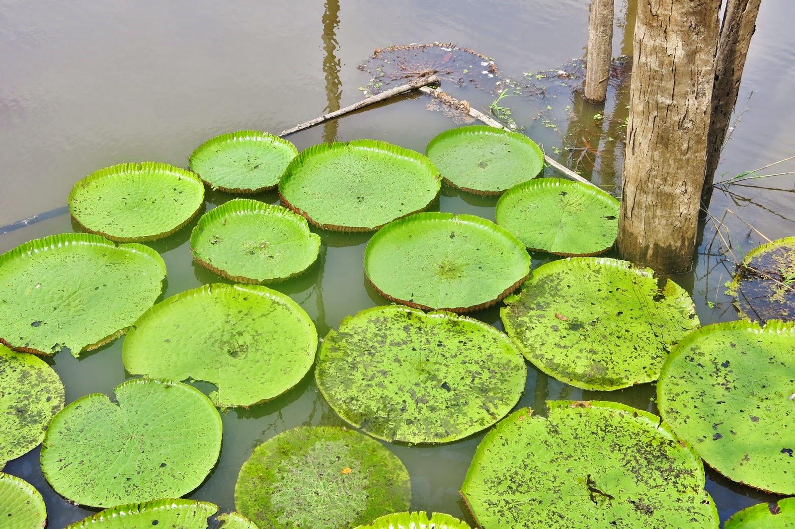 Vitória-régia, na floresta amazônica, nas proximidades de Manaus.
