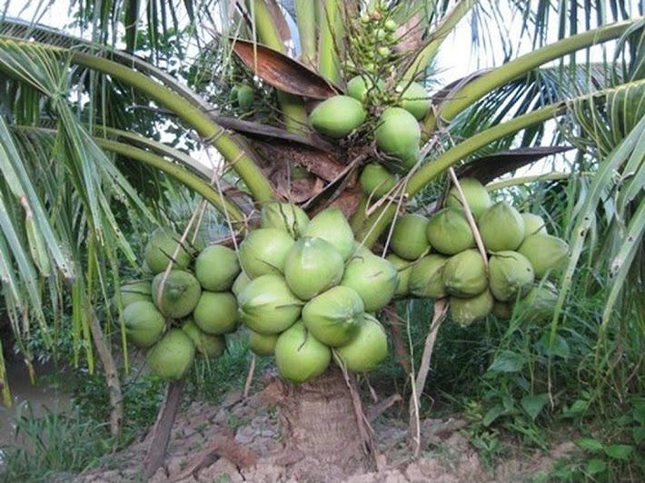 Bibit kelapa genjah entok unggul berkualitas dijamin berbuah 2 3thn Padang Sidempuan
