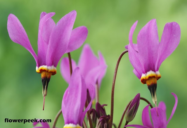 Tips on how to grow Shooting Star flowers