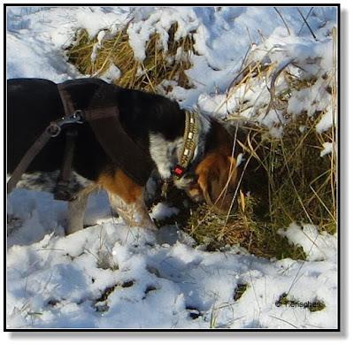 Beagle bei der Jagd